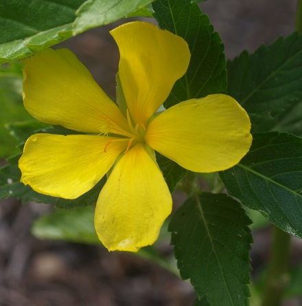 yellow buttercup; yellow alder