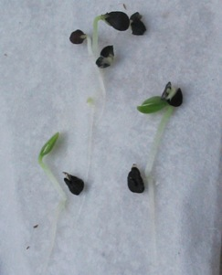 Seeds with baggies and filters they germinate mightylinksfo Choice Image