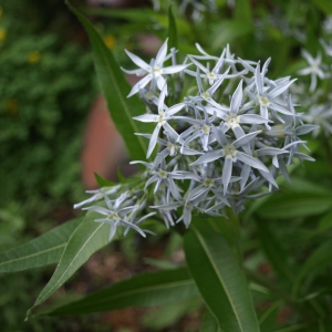 Amsonia illustris: Ozark blue stars