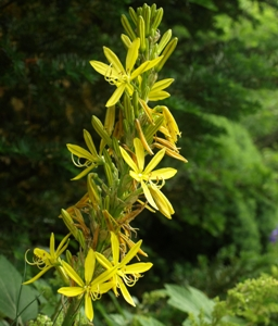 Asphodeline lutea: Jacob's rod