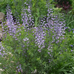 Baptisia 'Purple Smoke': hybrid false indigo