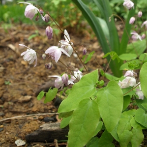 Epimedium x youngianum 'Roseum': rose fairy barrenwort