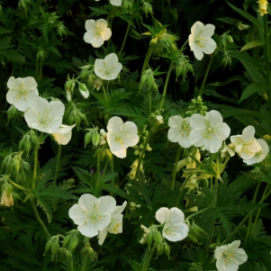 Geranium pratense var. albiflorum: white-flowered meadow cranesbill