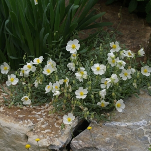 Helianthemum apenninum: white rock rose