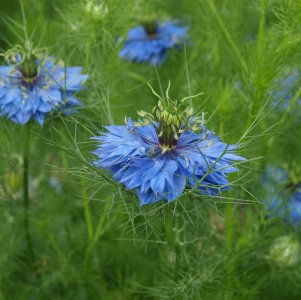 Nigella damascena: love in a mist