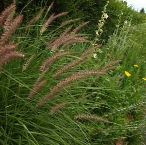 Pennisetum orientale 'Karly Rose': fountain grass