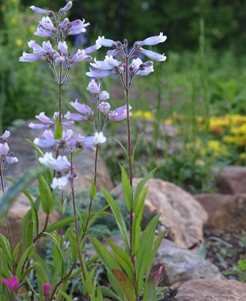 Penstemon hirsutus: hairy beardtongue