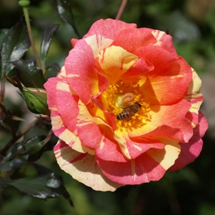 Rosa 'Citrus Splash': floribunda rose
