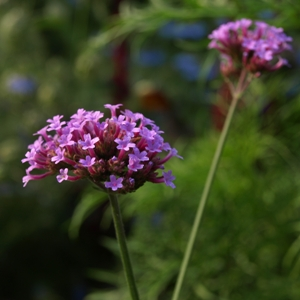 Verbena bonariensis: purple-top vervain