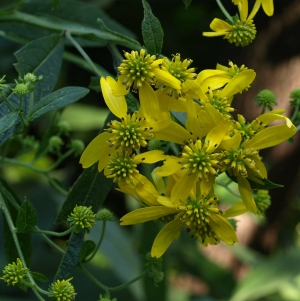 Verbesina alternifolia: wingstem