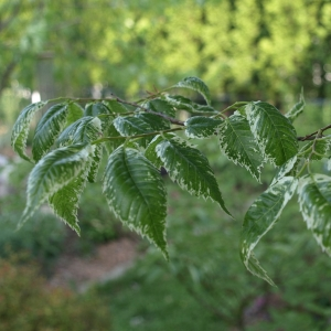 Zelkova serrata 'Goshiki': variegated Japanese elm, early spring