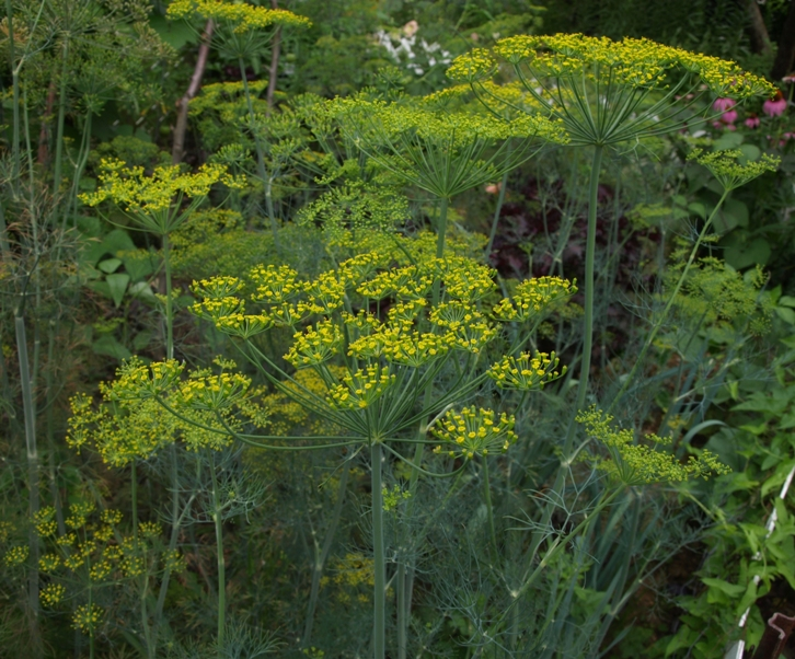 Anethum graveolens: dill in the vegetable garden