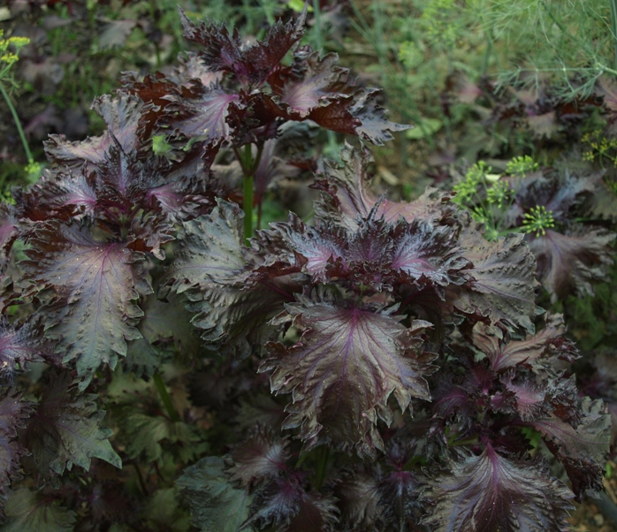Perilla frutescens: red shiso