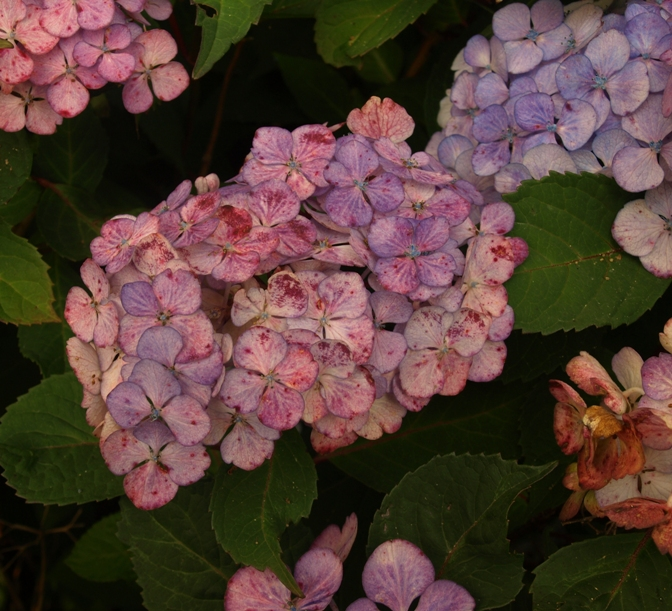 Hydrangea 'Preziosa' - in its multicolor phase