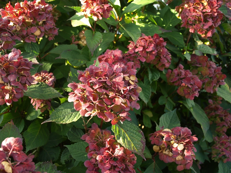 Hydrangea 'Preziosa' - late August, burgundy phase