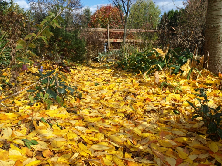 Autumn leaves in the garden - a cherry carpet