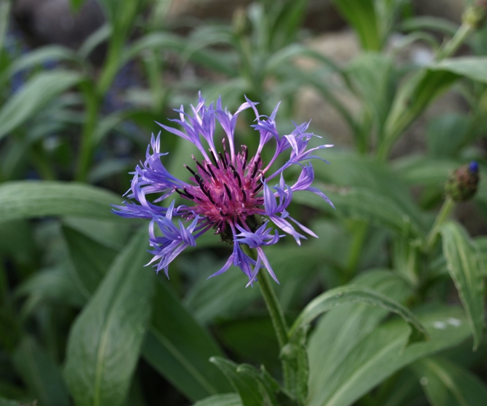 Centaurea montana: mountain bluet