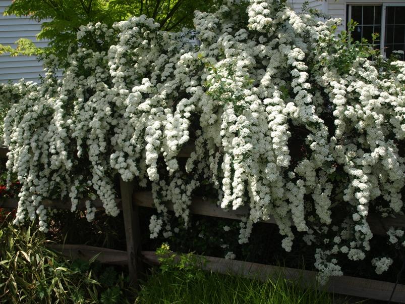 Spiraea Vanhouttei Bridal Wreath Spiraea x Vanhouttei Bridal