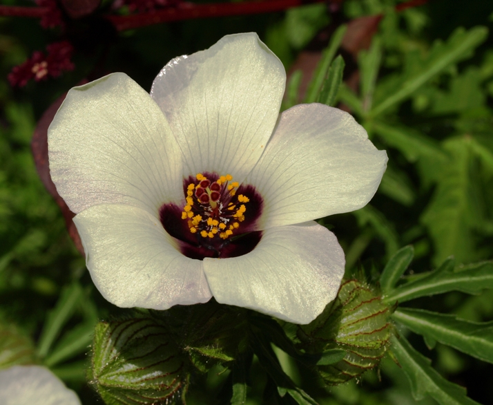 Hibiscus trionum:flower of an hour