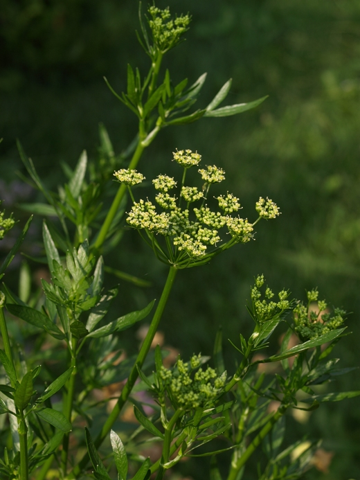 Petroselinum crispum: parsley (flowers)