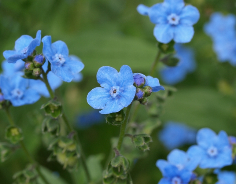 Cynoglossum amabile: Chinese forget-me-not