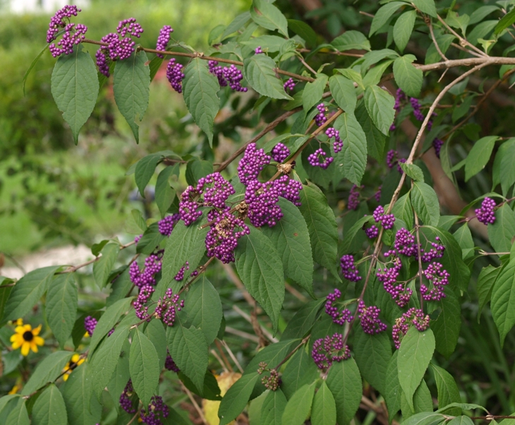 Callicarpa japonica: Japanese beautyberry