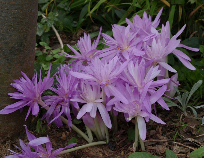 Colchicum 'Waterlily': double-flowered autumn crocus