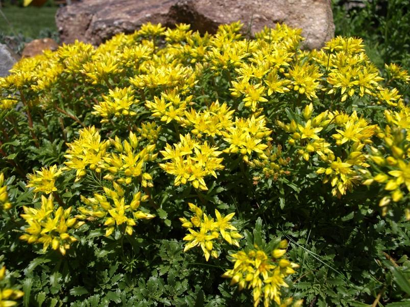 Stock photo sedum kamtschaticum kamtschat stonecrop sedum kamtschaticum kamtschat stonecrop categories perennial succulent yellow flower mightylinksfo
