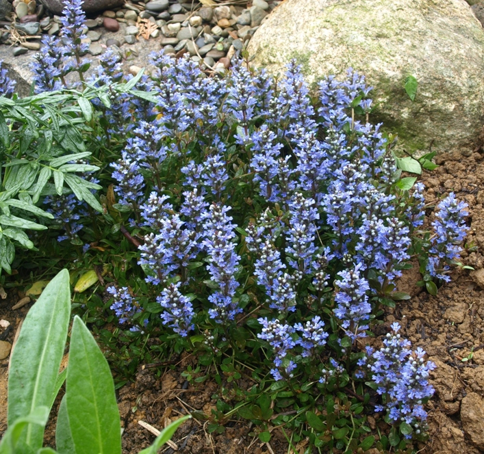Ajuga reptans 'Chocolate Chip': small-leaf bugleweed