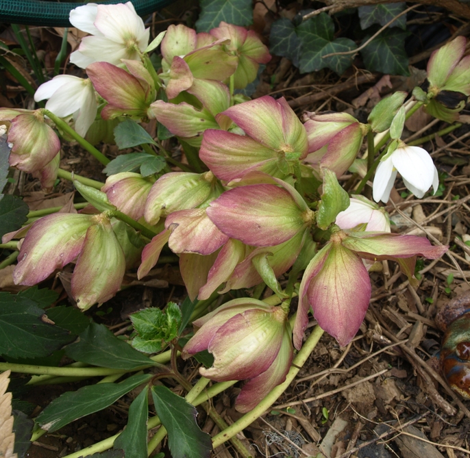 Helleborus niger: faded flowers of Christmas rose