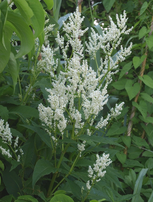 Polygonum polymorphum: giant fleeceflower