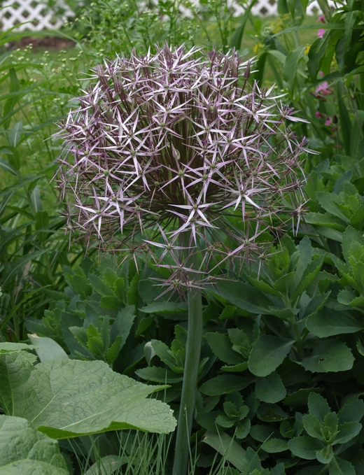 Allium cristophii: star of Persia