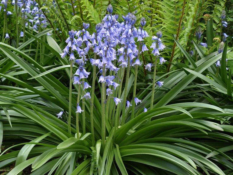 Stock photo endymion hispanicus spanish bluebell endymion hispanicus spanish bluebell categories perennial flower mightylinksfo
