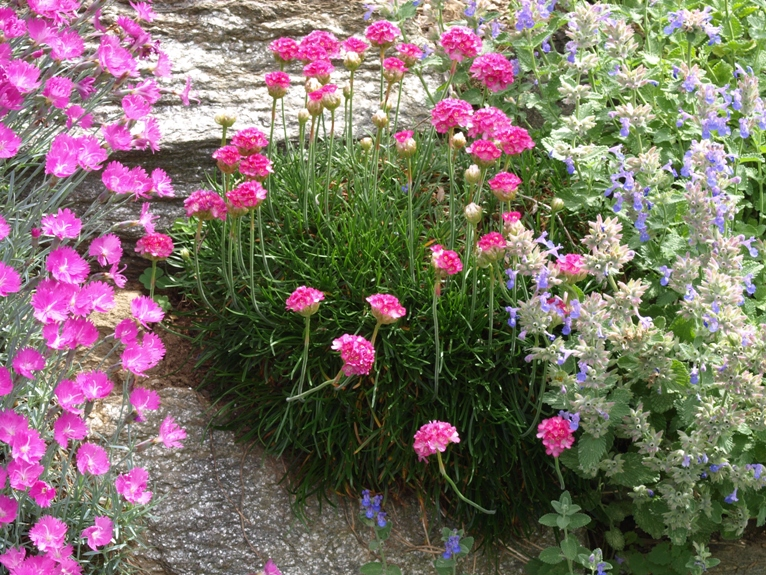 Armeria maritima: sea thrift
