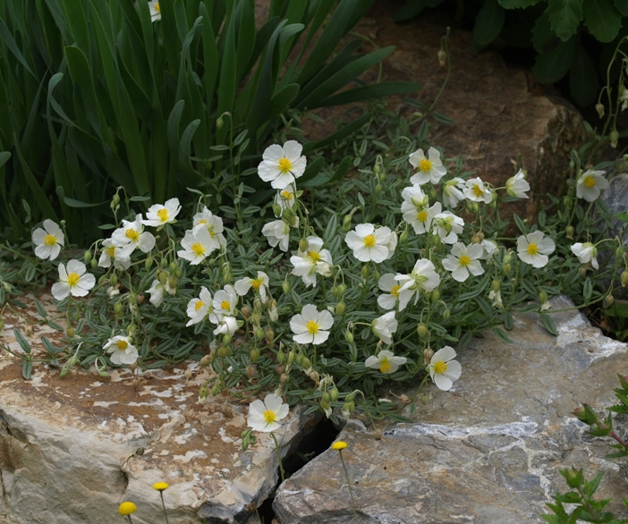 Helianthemum Apenninum White Rock Rose