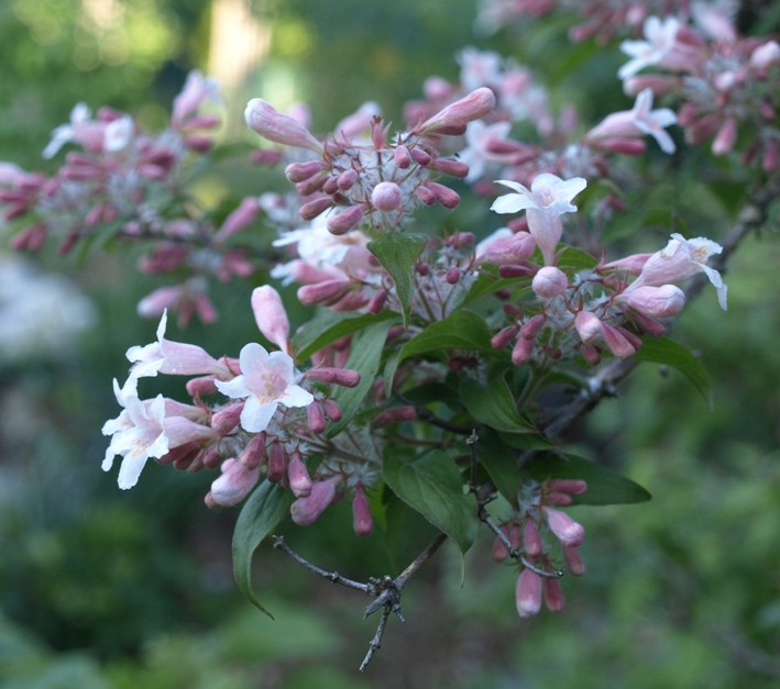 Kolkwitzia amabilis 'Pink Cloud': beautybush