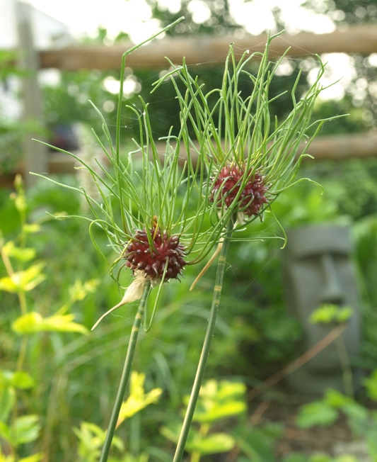 Allium vineale 'Hair'