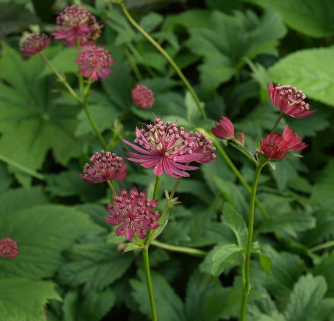 Astrantia major 'Ruby Wedding': great masterwort