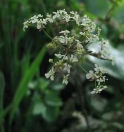 Anthriscus sylvestris 'Moonlit Night'