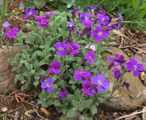 purple rock cress