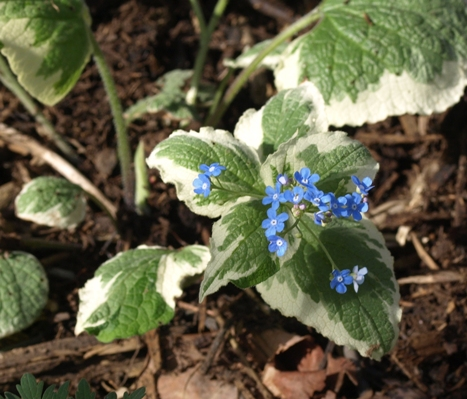 false forget-me-not