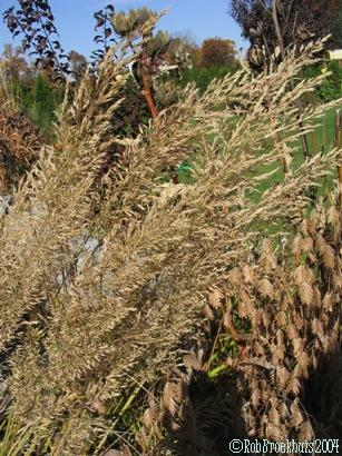 Korean feather grass