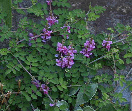 Indigofera pseudotinctoria 'Rose Carpet'