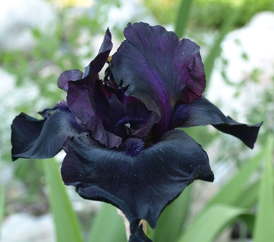 Iris (tall bearded hybrids)