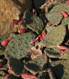 eastern prickly-pear