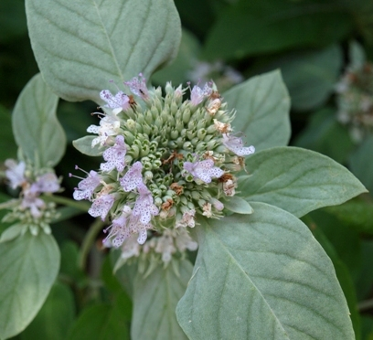 hoary mountain mint; white horse-mint