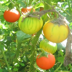 Solanum pyracanthum Rare Wicked /& Mean Porcupine Tomato Seeds EEKS