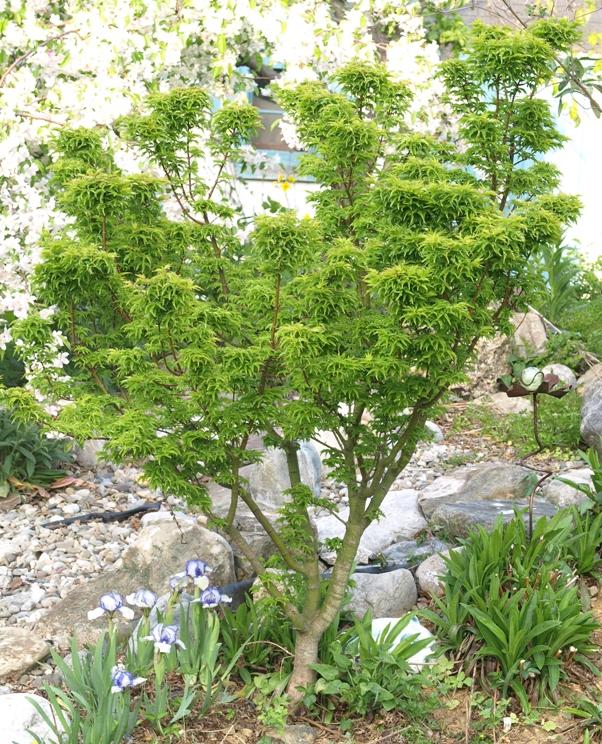 Stock Photo Acer Palmatum Shishigashira Lions Head Japanese Maple